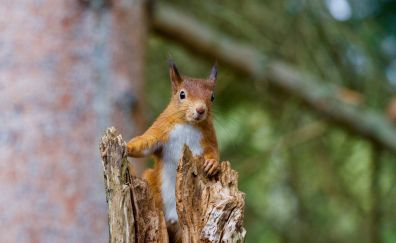 Squirrel, red rodent, curious