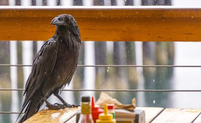 Raven, crow, black bird, rain
