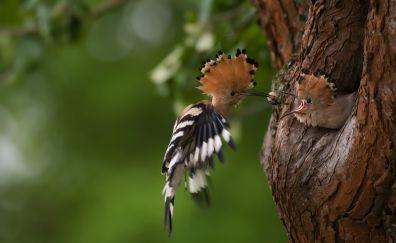 Hoopoe, beautiful birds, feeding, flying