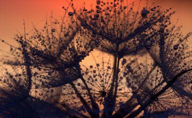 Dandelion, flowers, drops, close up, sunset