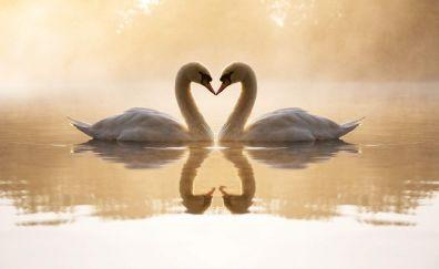 Swan birds, symbol of love wallpaper