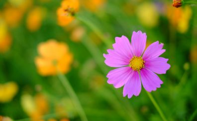 Pink fresh cosmos, flower, spring