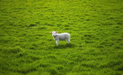 Sheep, lamb, cute, grass field