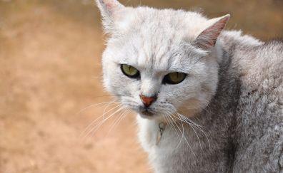 Sad and curious, white cat, pet animal