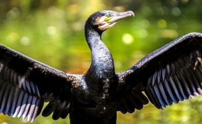 Cormorant, black bird, wings