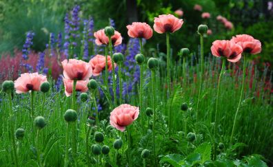 Pink flowers, poppy, flower field, meadow