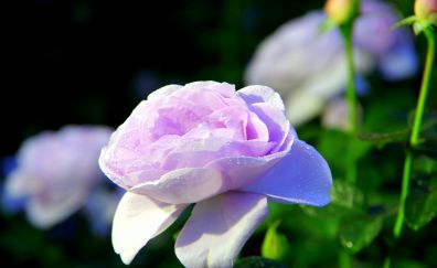 Water Drops, pink rose, flowers, morning