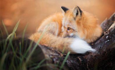 Relaxed, predator, red fox, animal