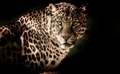 Leopard, predator, muzzle, wild cat, portrait, 4k