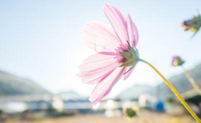 Pink cosmos, flowers, blossom, bud, 4k