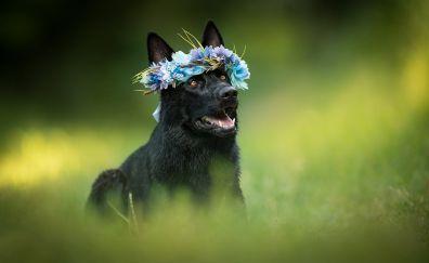 Black dog, German Shepherd, flowers, crown, meadow