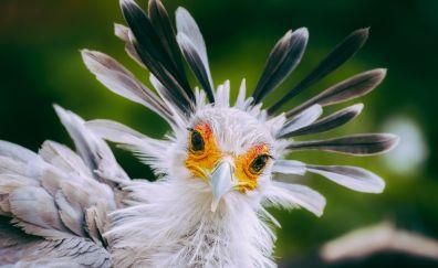 Secretarybird, bird, feathers, muzzle