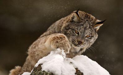 Play with snow, lynx, wild cat