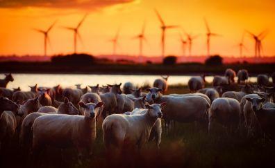 Sheep, herds, animal, sunset