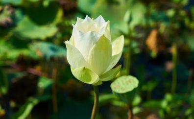 Beautiful, white lotus, flower, bloom