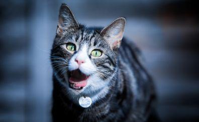 Cat, pet animal, muzzle, yawn