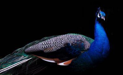 Beautiful, peacock, bird, 4k