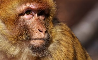Barbary ape, furry monkey, muzzle