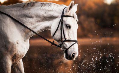 White horse, portrait, water splashes, muzzle