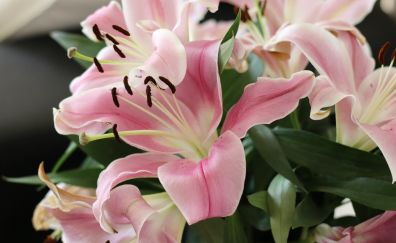 Flowers, lily, close up, pink