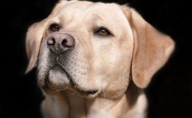 Labrador, dog, animal, muzzle