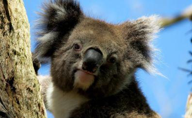 Koala, wild animal, head, cute