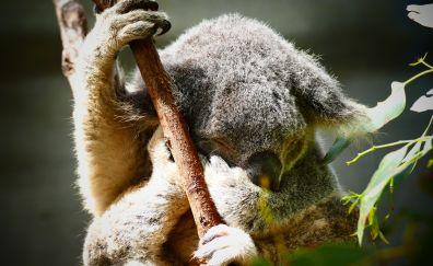 Koala, cute animal, sleep