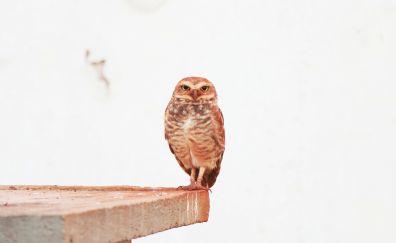 Predator, bird, owl