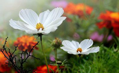 Cosmos, white flowers, spring, plants, 4k