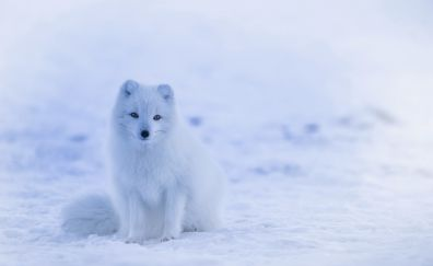 Baby arctic fox, animal, predator