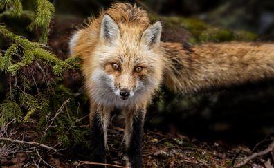 Curious fox, predator, jungle, animal