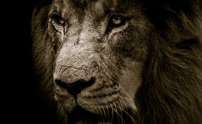 Lion, predator, confident, muzzle, fur, 4k