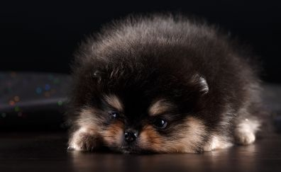 Cute Spitz puppy dog furry