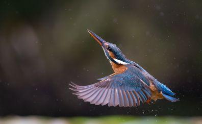 Kingfisher, bird, wings, fly