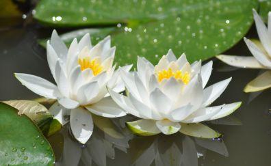 White flowers, bloom, lotus, 4k