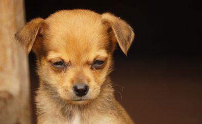 Cute puppy, head down, dog