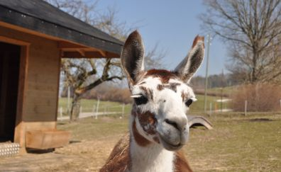 Lama muzzle, animal