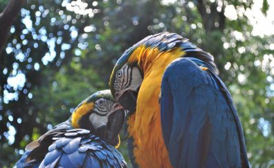 Parrot ara, macaw couple birds