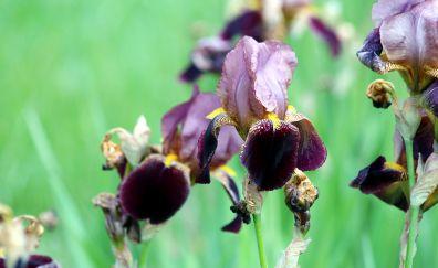 Irises flowers, garden