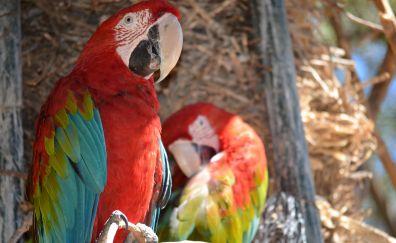 Parrot bird, colorful bird, macaw