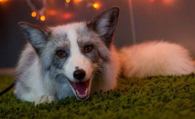 Fox, wild beasts, animal
