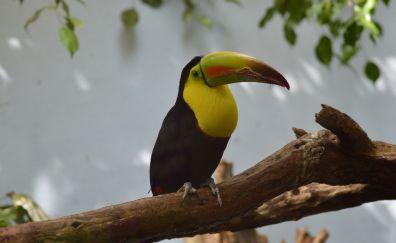Toucan, yellow neck, beautiful bird