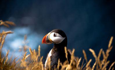 Atlantic puffin bird, close up