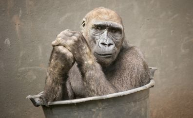 Ape animal
