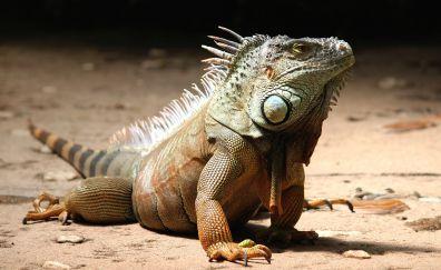 Iguana lizard, wild animal, reptile