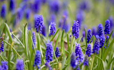 Hyacinth, purple flowers, spring, blur, meadow