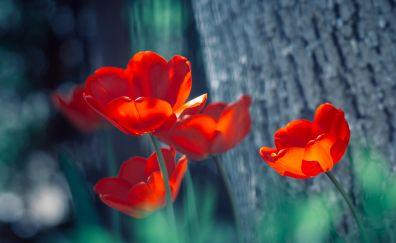 Lovely red tulip, flowers, spring