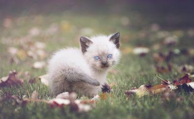 Cute kitten, play, leaves, grass field, fall