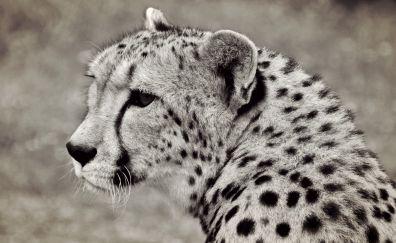 Cheetah, predator, wild animal, monochrome