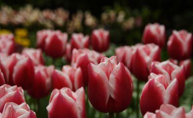 Flowers farm field, tulips, white & pink